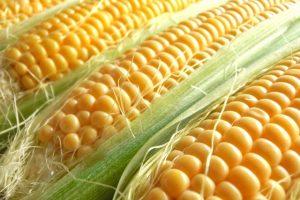 野村農園 スイートコーン収穫祭 6,000本の甘いとうもろこし【入園無料】