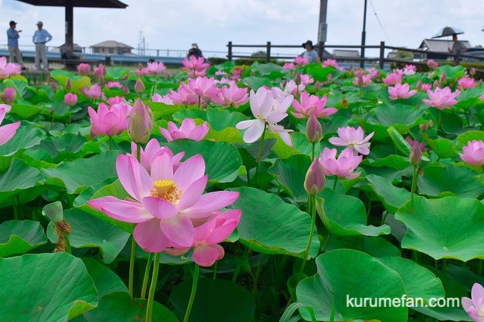 千栗土居公園のはす「二千年蓮と舞妃蓮」がとても綺麗!【みやき町】