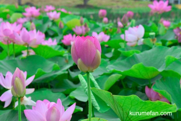 みやき町 千栗土居公園のはす ピンク色「二千年蓮」つぼみ