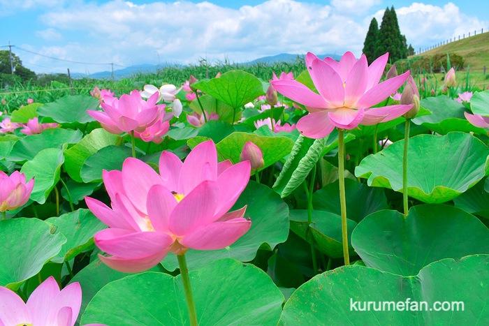 みやき町 千栗土居公園のはす ピンク色「二千年蓮」