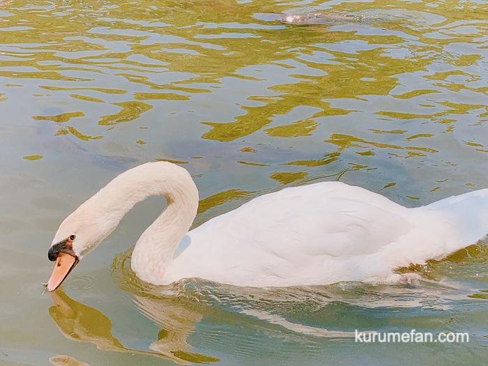 石橋文化センターに白鳥が!?蓮の花もキレイ【久留米市】