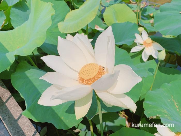 石橋文化センター 蓮の花