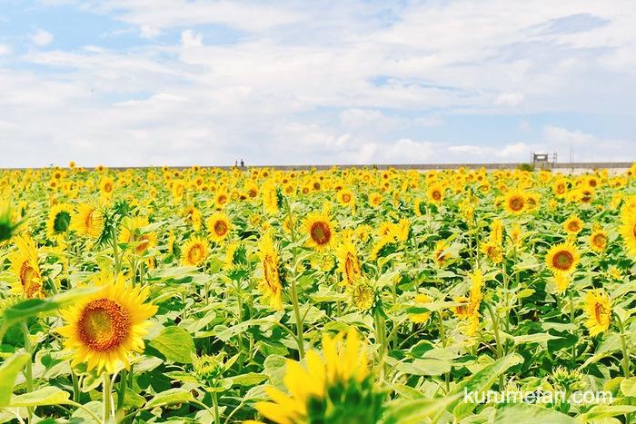 第21回 柳川ひまわり園 青い空と黄色のコントラスト