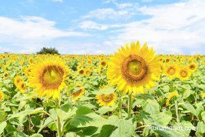 柳川ひまわり園に行ってきた!5haの畑に50万本のヒマワリが咲き誇る!