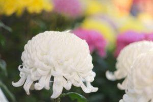 第66回 菊花展 久留米市 月読神社で毎年開催される歴史ある菊花展