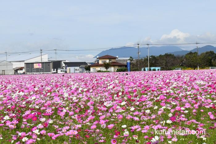 キリンビール福岡工場 約1,000万本の色とりどりのコスモス