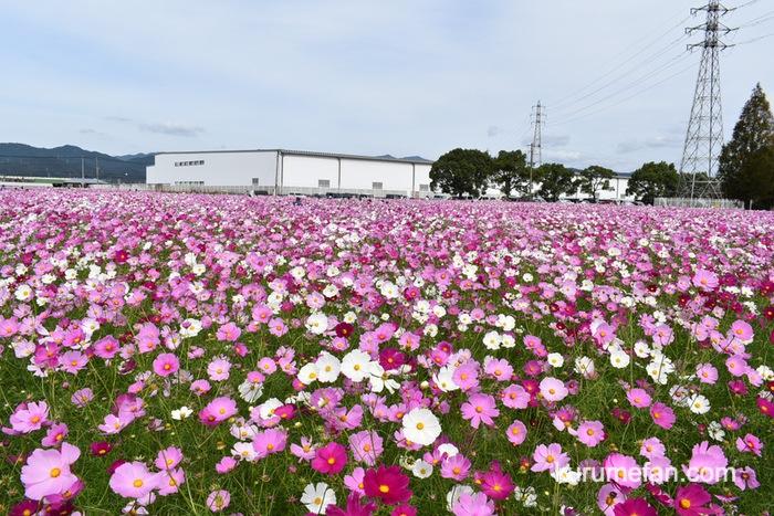 キリンビール福岡工場 見渡す限りコスモス一色で圧巻