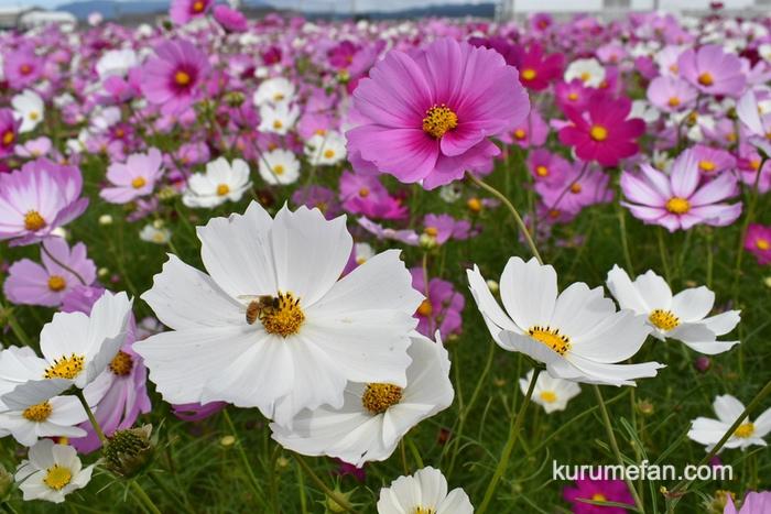 キリンビール福岡工場 赤・白・ピンクを基調としたさまざまなコスモス