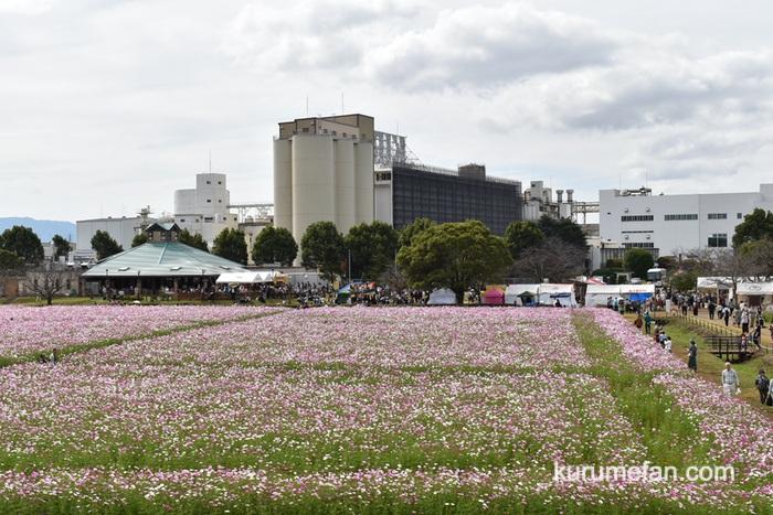 キリンビール福岡工場 コスモスパノラマ展望台からのコスモス