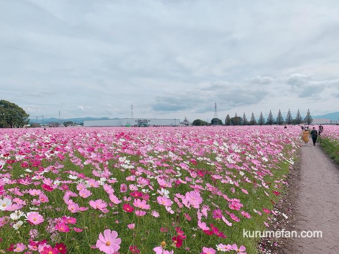 キリンビール福岡工場 キリン花園のコスモス