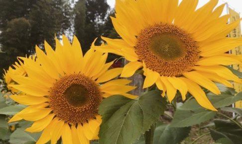 みやき町 山田ひまわり園 秋に咲く10万本のひまわり 2019年11月1日から開園