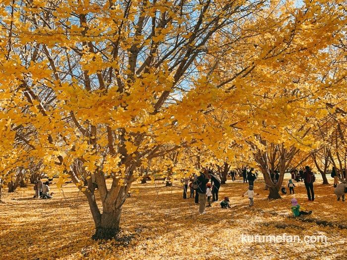 太原のイチョウ(たいばるのいちょう)黄金色の景色