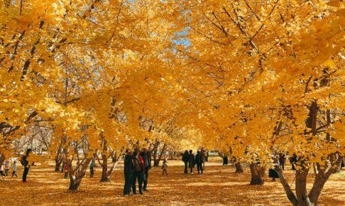 太原のイチョウ 広川町の黄金並木 一面、黄金色の景色に圧巻