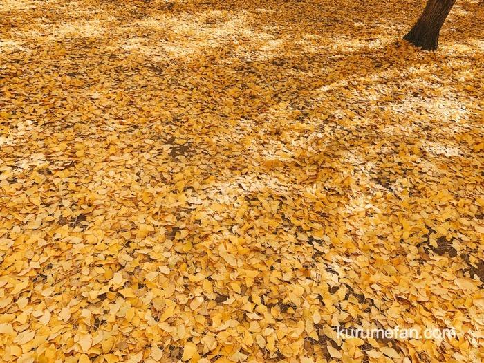太原のイチョウ(たいばるのいちょう)落葉したイチョウの葉が黄金の絨毯のよう