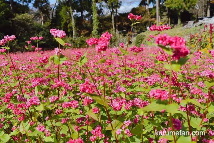 みやき町 山田ひまわり園 ピンク色のそばの花