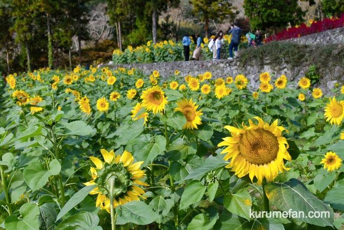 みやき町 山田ひまわり園 6,000平方メートルに咲く10万本のひまわり