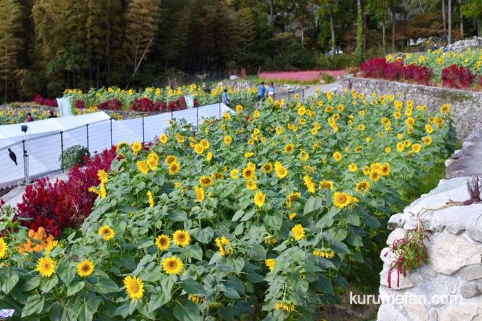 みやき町 山田ひまわり園 真っ赤なケイトウも咲いていて、黄色のヒマワリとのコントラスト