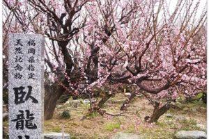 臥龍梅 開催!大牟田市普光寺 樹齢450年余りの梅【2021年】