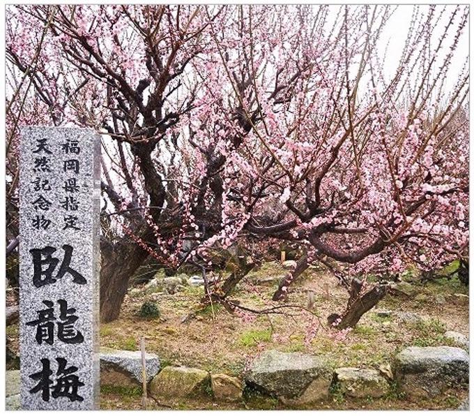 臥龍梅 大牟田市普光寺 全長24メートル 樹齢樹齢450余年の梅【2020年】