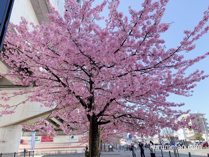 久留米市 西鉄花畑駅前にある河津桜 写真を撮る人たち