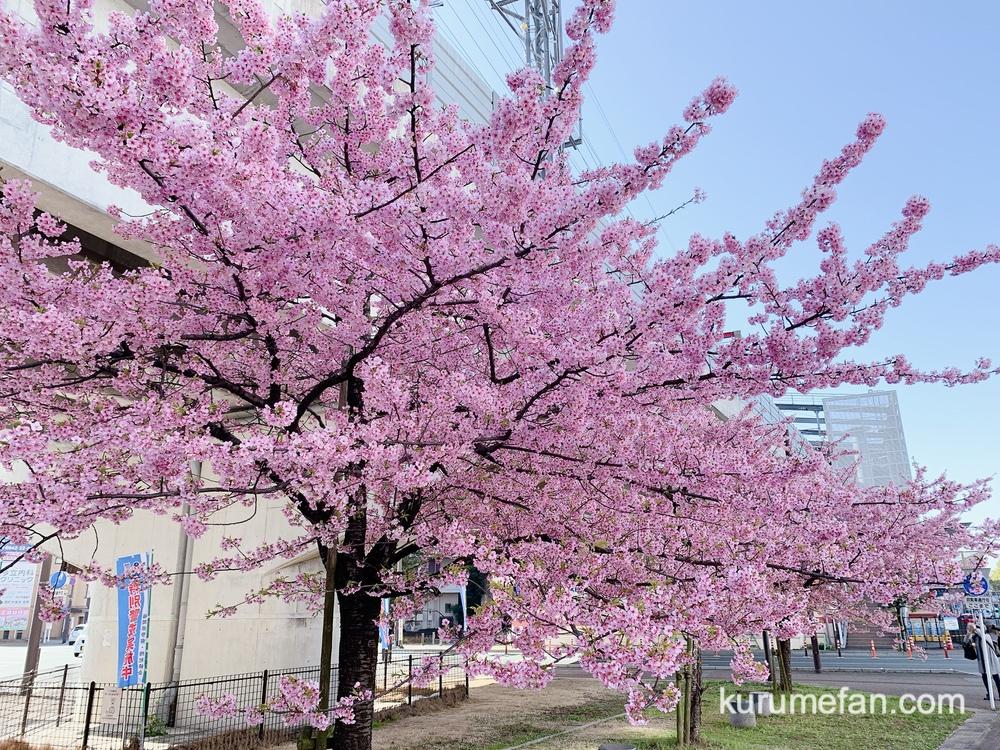 久留米市花畑駅前の河津桜が満開 ピンク色の早咲きの桜がキレイ