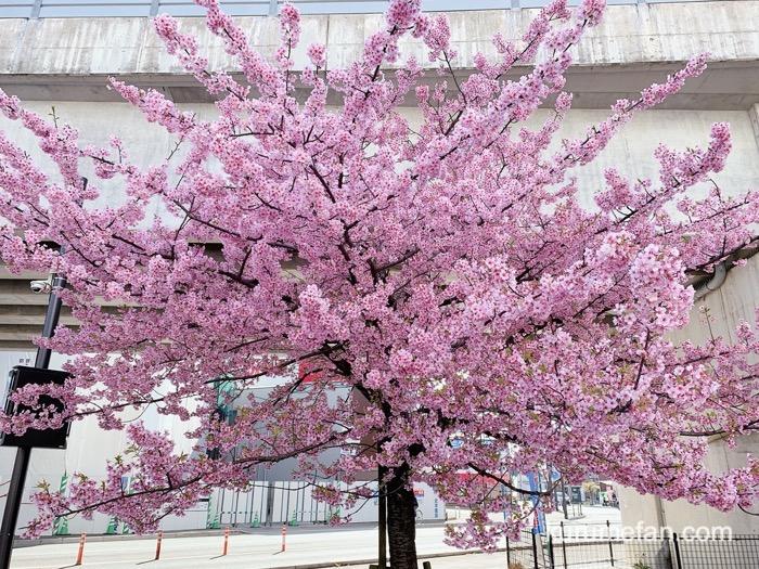久留米市 西鉄花畑駅前にある河津桜 ピンク色の大きな花
