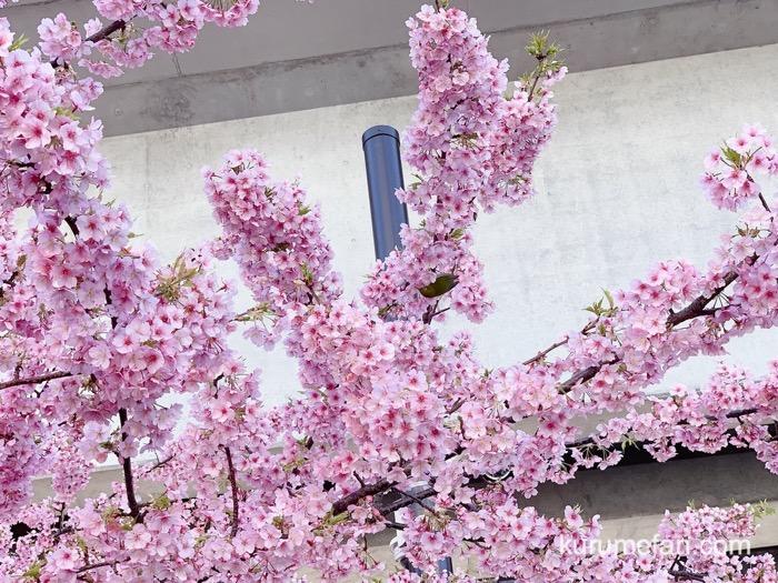 久留米市 西鉄花畑駅前にある河津桜 に飛来するメジロ