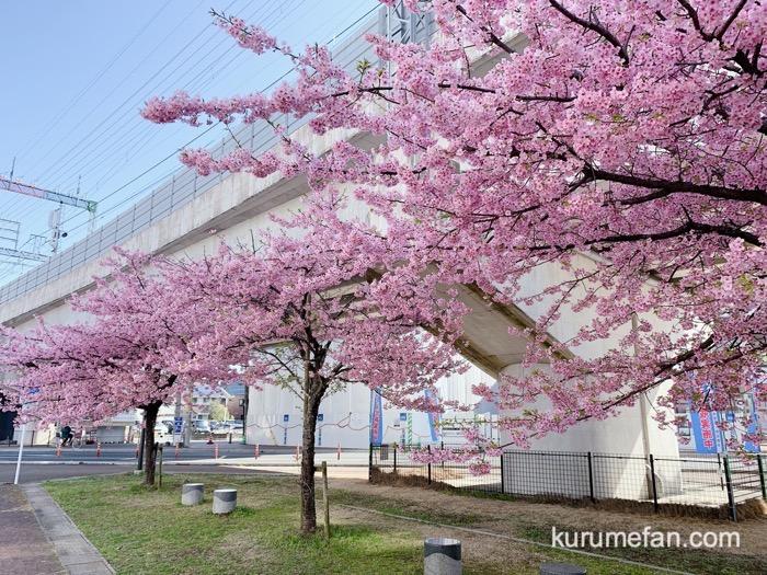 久留米市 西鉄花畑駅前にある河津桜(カワヅザクラ)