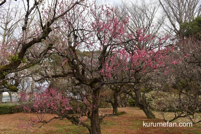 久留米市 梅林寺外苑の梅