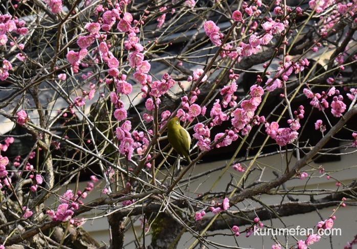 久留米市 梅林寺外苑の梅の蜜をすうメジロ