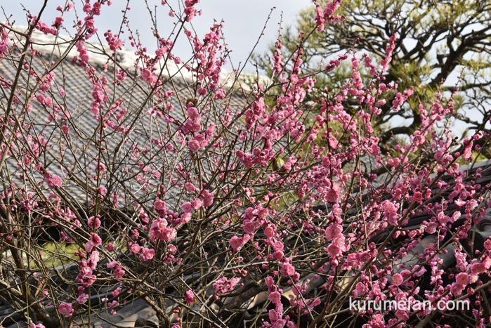 久留米市 梅林寺外苑の梅とメジロ