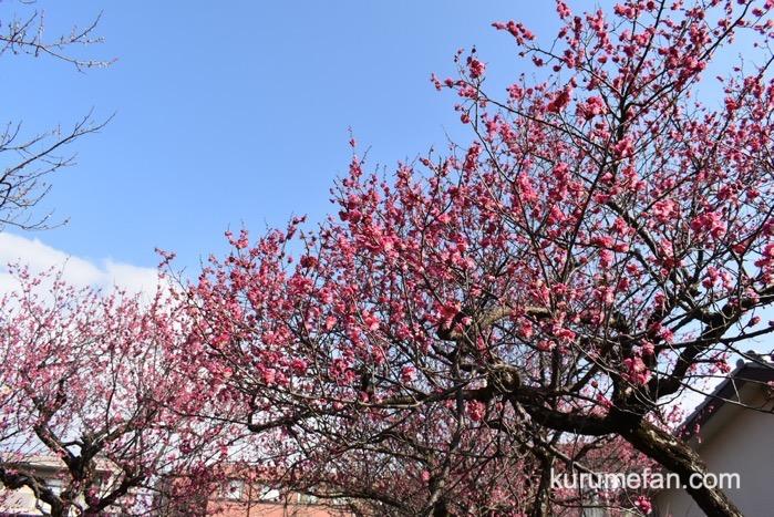 久留米市 宮ノ陣神社 約60本の梅