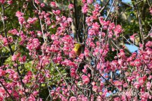 久留米市 梅林寺と宮ノ陣神社の梅を見てきた【2020年開花状況】