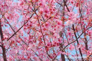 鷲塚公園桜まつり 久留米市荒木町 陽光桜など約150本のサクラが楽しめる