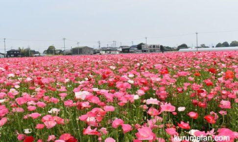 味坂ポピー祭り 23,000平方メートルに咲く約100万本のポピー【2020年】