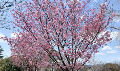 久留米市 鷲塚公園の陽光桜が咲き始めてました 濃いピンク色の桜
