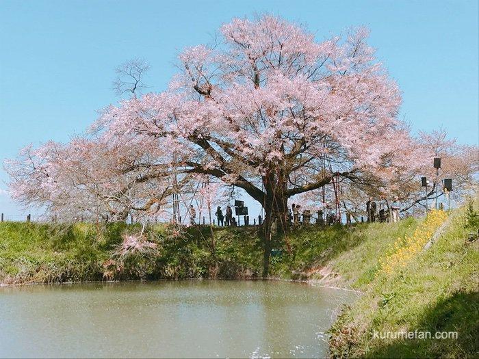 久留米市「浅井の一本桜」2020年はライトアップが中止に 樹齢119年の桜