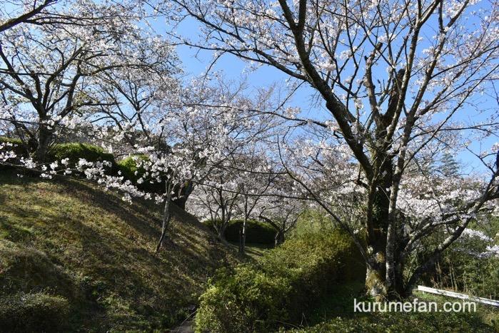 発心公園 約170本の桜が早くも開花
