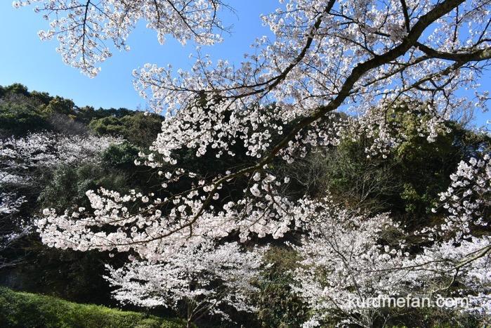 久留米市 発心公園 園内の上の方は、かなり開花が進んでいて見頃