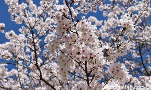 発心公園の桜が早くも咲いてる!久留米市草野町にある桜の名所【2020年】