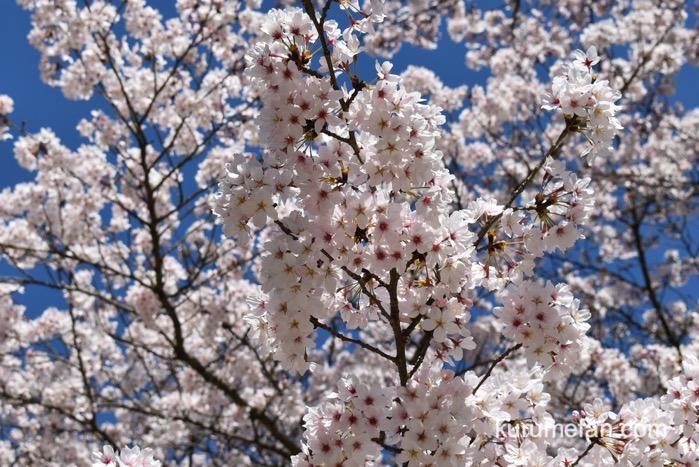 久留米市 発心公園 園内の上の方の桜