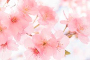 石橋文化センター SAKURAまつり2020 園内に咲く約150本の桜