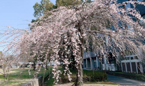 久留米市役所側 両替町公園のシダレザクラが咲き始めてます【花見】