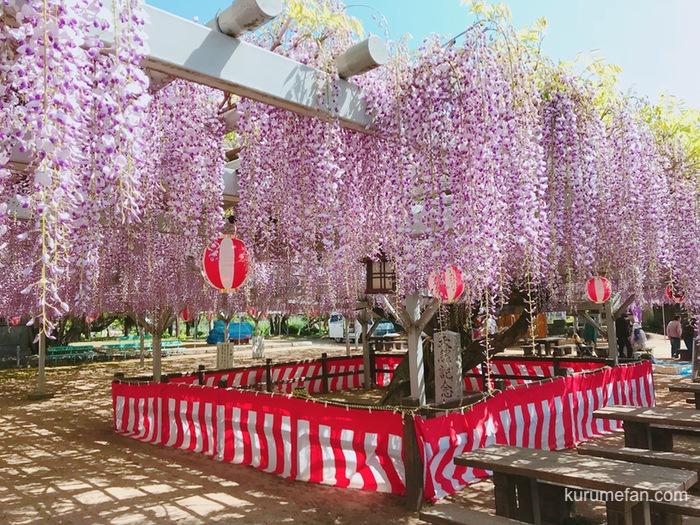 大中臣神社 将軍藤まつり2020 樹齢650年の藤 ライトアップ予定【小郡市】