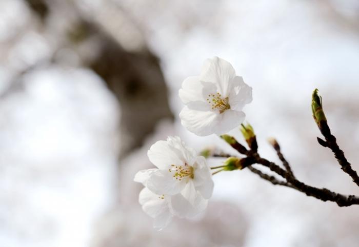 2020年 福岡のさくらの開花宣言 平年より2日早く昨年と同じ3/21