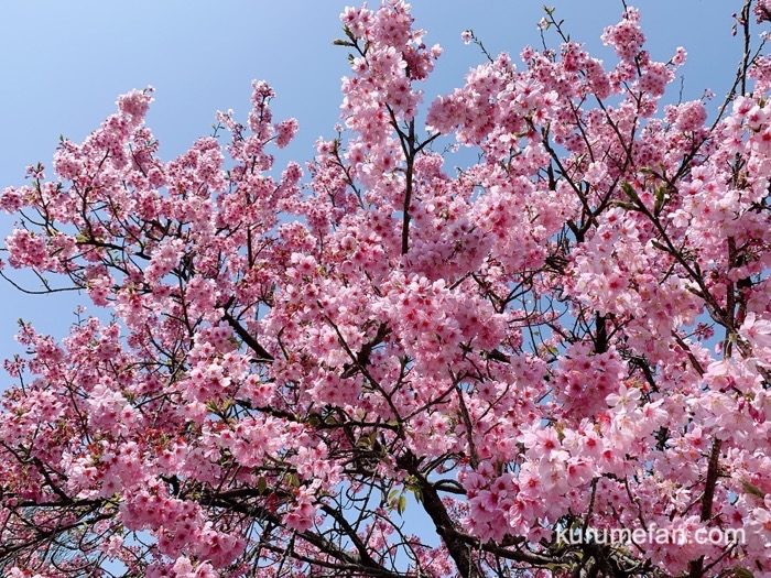 内山緑地建設 陽光桜(ヨウコウサクラ)が満開