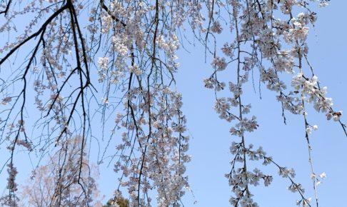 内山緑地のしだれ桜が咲きはじめ 陽光桜は満開でキレイ【久留米市田主丸町】