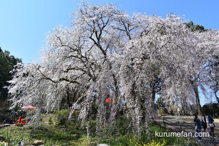 うきは市 「身延桜」巨大な3本のしだれ桜に感動