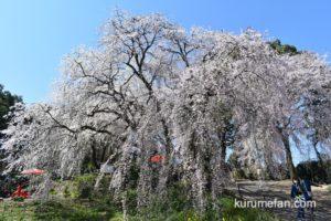 うきは市 しだれ桜「身延桜」が見頃!巨大なシダレザクラに感動【動画あり】