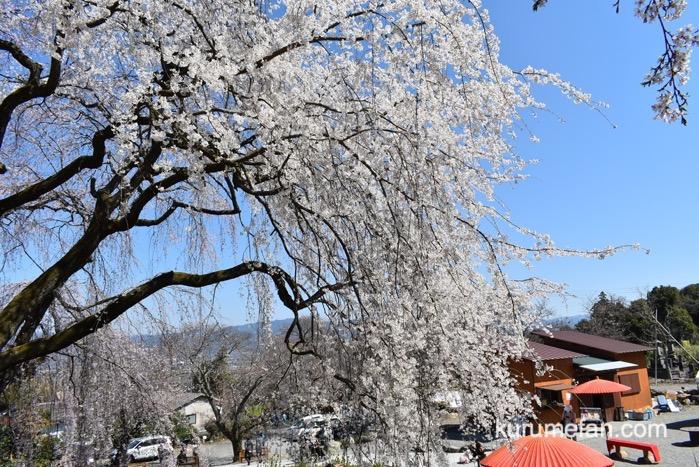 うきは市 滝が流れ落ちるようなシダレザクラ「身延桜」